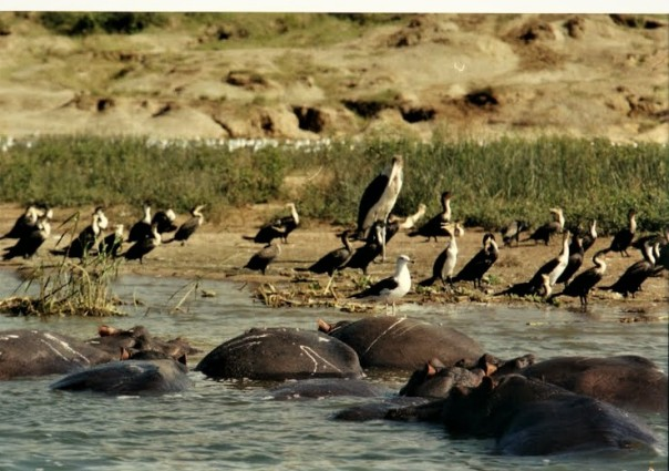 bhromonmarchinsonBirds and hippos